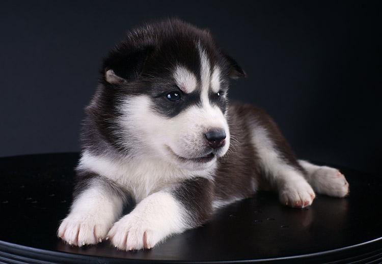Aussurance chien